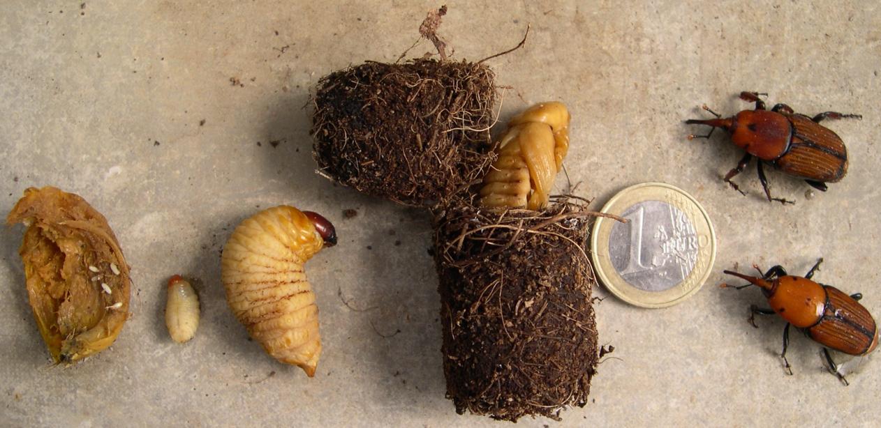 Koide9enisrael les palmiers isra liens bient t de l - Charancon du riz dangereux ...